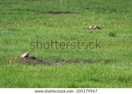 black tailed prairie dog calling out to advise his frieda of a possible predator - stock photo