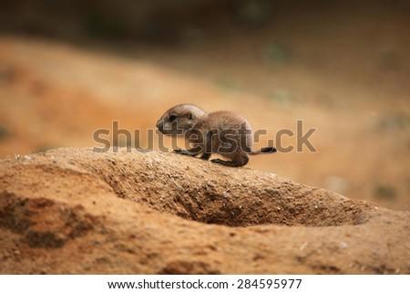 Black-tailed prairie dog (Cynomys ludovicianus). - stock photo