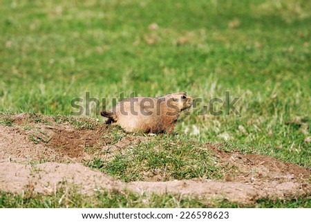 Black-tailed prairie dog,Cynomys ludovicianus, keeping watch near its burrow - stock photo