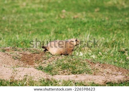 Black-tailed prairie dog,Cynomys ludovicianus, keeping watch near its burrow - stock photo