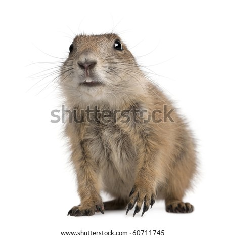Black-tailed prairie dog, Cynomys ludovicianus, sitting in front of white background - stock photo