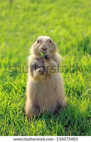 Black Tailed Prairie Dog feeding - stock photo