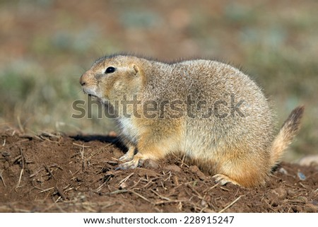 Black-tailed Prairie Dog in West Texas - stock photo