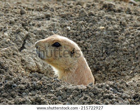 black-tailed prairie dog  pepping out of his burrow in  broomfield, colorado - stock photo