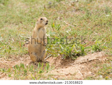 Black-tailed Prairie Dog standing up next to his burrow entrance, observing his surroundings - stock photo