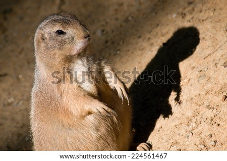 black-tailed prairie dog with shadow - stock photo
