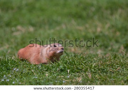 Black-tailed Prairie Marmot on Grass. Copy Space. - stock photo