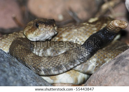 Black tailed rattlesnake, Crotalus molossus coiled to strike in Cherry Creek, Arizona - stock photo