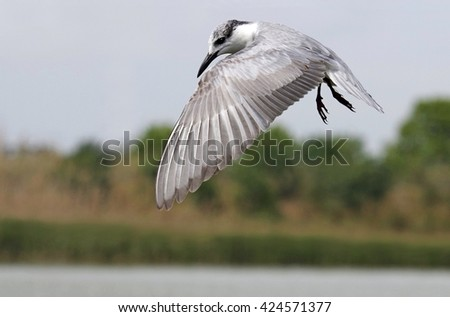 black tern (Chlidonias niger) in winter plumage - stock photo