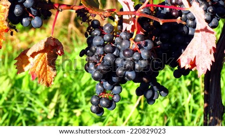 Black terrano grapes and colorful leaves in autumn - stock photo