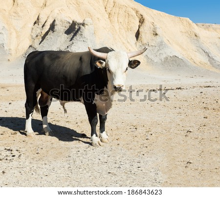 Black Texas longhorn bull breed with the tips of his horns sawed on a deserted field - stock photo