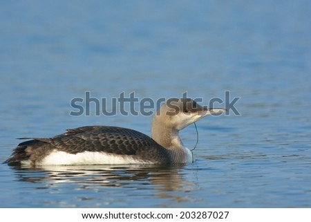 Black Throated Loon or Diver (Gavia acrtica) on water - stock photo