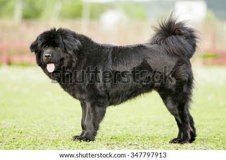 black tibetan mastiff - stock photo