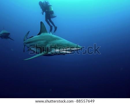 Black-tip (Carcharhinus limbatus) and Bull shark (Carcharhinus leucas) circling a scuba diver - stock photo