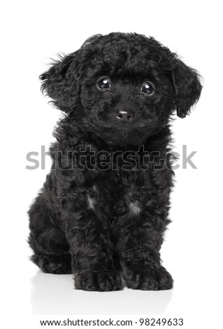 Black Toy poodle puppy sits on a white background - stock photo