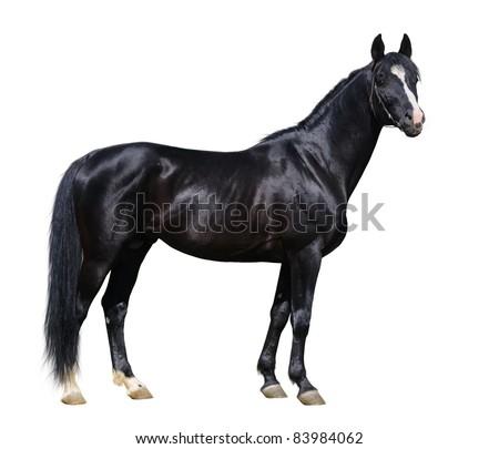 Black Trakehner stallion isolated on white - stock photo