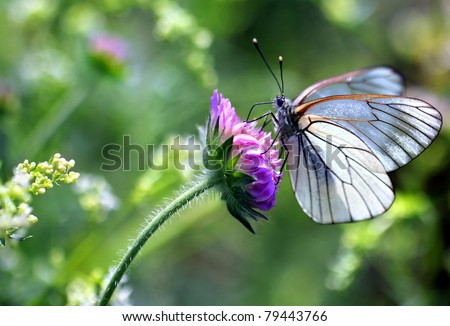 Black-veined White butterfly, Aporia crataegi - stock photo