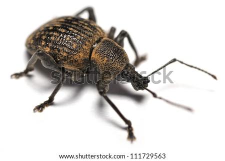 Black Vine Weevil isolated on white - stock photo