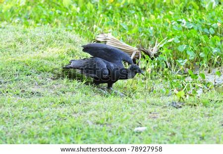 Black Vulture (Coragyps atratus) - stock photo