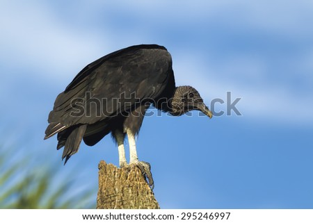 Black vulture perched on tree in Lake Woodruff by Deland, Florida. - stock photo