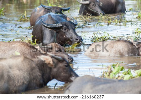 Black water buffalos are feeding in a pond, Thailand - stock photo