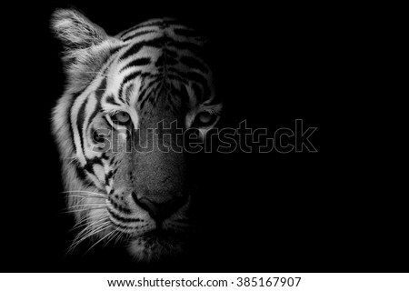 Black & White Beautiful tiger - isolated on black background - stock photo