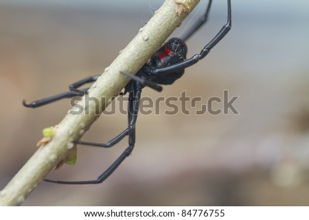 Black Widow Spider - stock photo