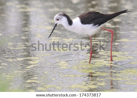 black-winged stilt - stock photo