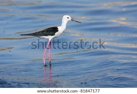 black winged stilt (Himantopus himantopus) - stock photo