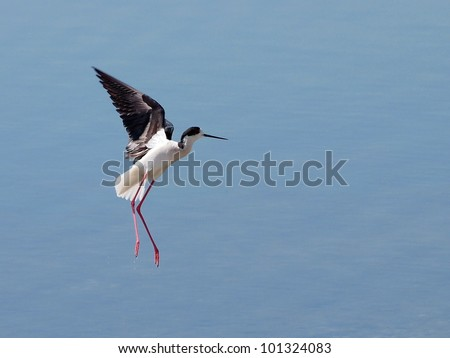 black winged stilt in flight, (himantopus himantopus) - stock photo