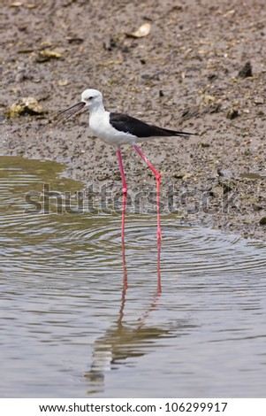 Black winged Stilt is bird in a sea coast - stock photo