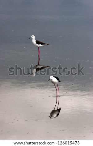 Black Winged Stilt on Pond in Serengeti Tanzania Africa with Reflection - stock photo