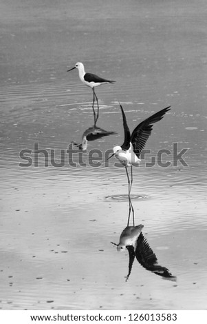 Black Winged Stilt with Reflection in Pond on the Serengeti Tanzania Africa in Black and White - stock photo