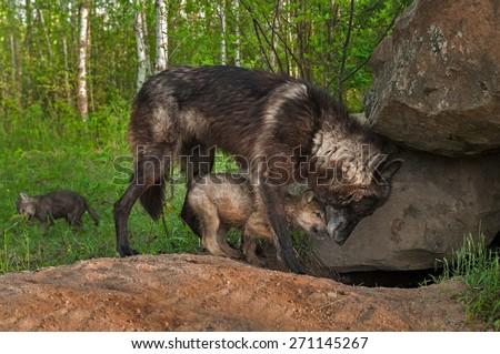 Black Wolf (Canis lupus) and Pup Share Moment at Densite - captive animals - stock photo