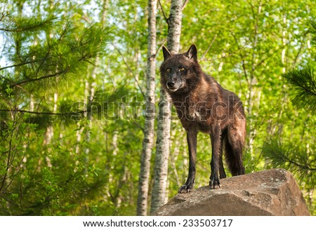 Black Wolf (Canis lupus) Atop Rock - captive animals - stock photo