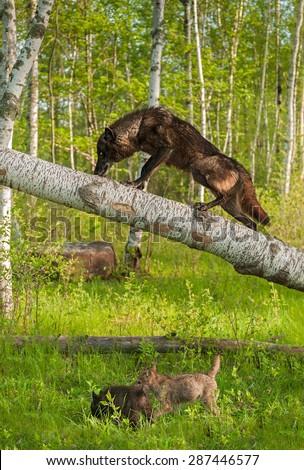 Black Wolf (Canis lupus) Climbs up Tree - pups below - captive animals - stock photo