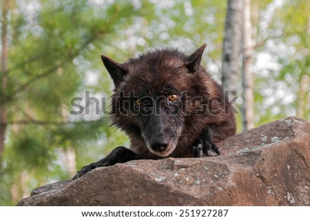 Black Wolf (Canis lupus) Looks Over Rock - captive animal - stock photo