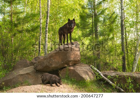 Black Wolf (Canis lupus) Stands on Top of Den - pup beneath - captive animal - stock photo