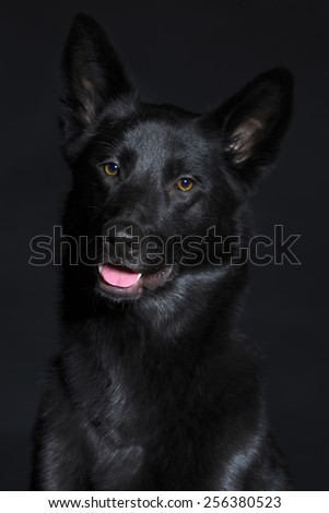 Black wolf dog breeds with shiny hair and friendly eyes on a dark background. - stock photo