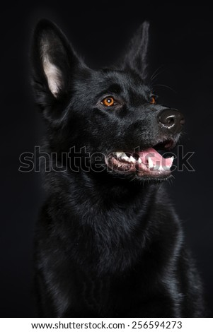 Black wolf dog breeds with shiny hair and open mouth. - stock photo