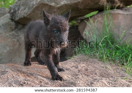 Black Wolf Pup (Canis lupus) Stands outside Den Entrance - captive animal - stock photo