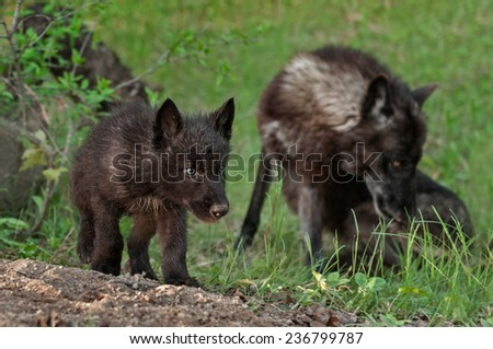 Black Wolf Pup (Canis lupus) with Mother in Background - captive animals - stock photo