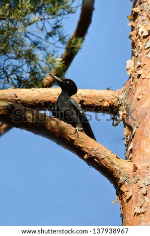 Black Woodpecker sitting in a pine-tree - stock photo