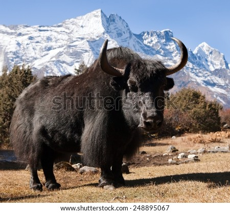 Black yaks on the way to Everest base camp and mount Kongde - Nepal - stock photo