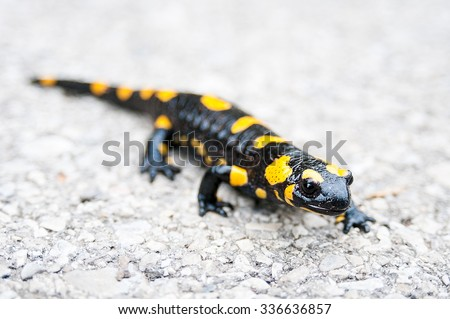 Black yellow spotted  salamander closeup. Front focus - stock photo