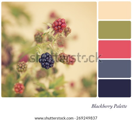 Blackberries growing in the hedgerow, processed to look like an aged instant photo, in a colour palette with complimentary colour swatches.  - stock photo