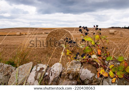 blackberries in front of an autumn field - stock photo