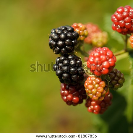 Blackberry on the bush, close up grows - stock photo