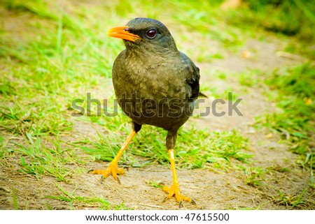 Blackbird - stock photo