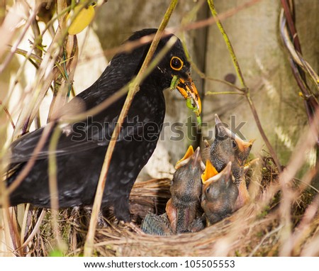 Blackbird Chicks Being Fed by Male - stock photo